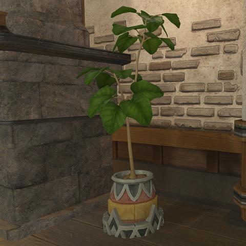 アンブレラフィグの鉢植