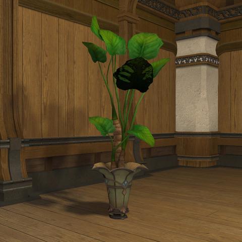 アロカシアの鉢植2